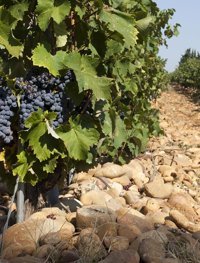 Vigne Le Raves grapes and vines
