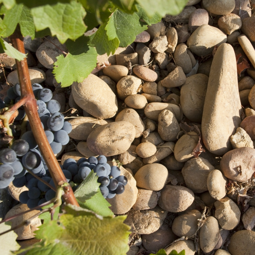 Senechaux close up of grapes and pebbles on ground