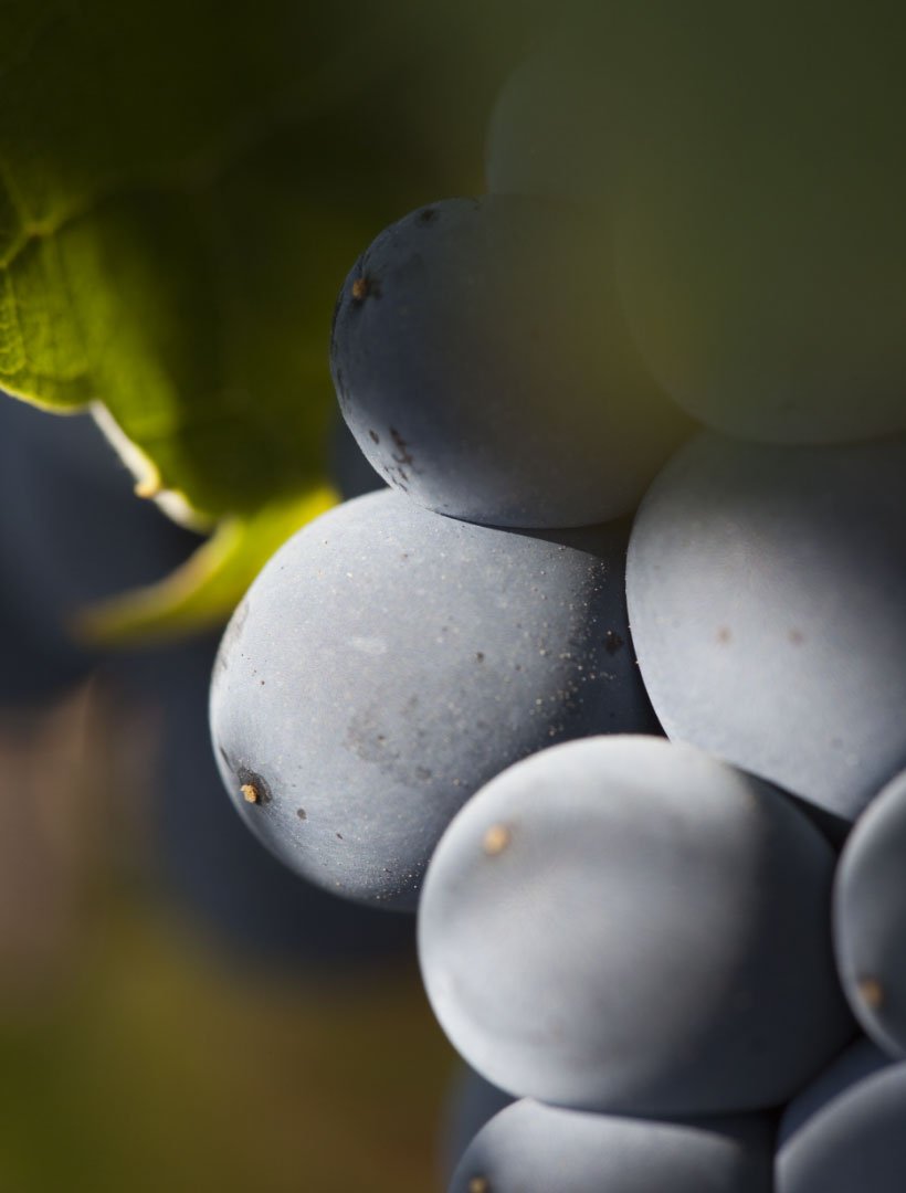 Close up photo of grapes on a vine